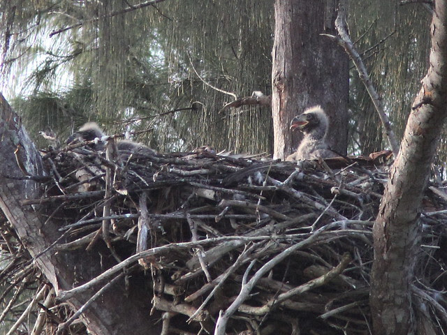 Bald Eaglets P Piney 13 and 12 20140205