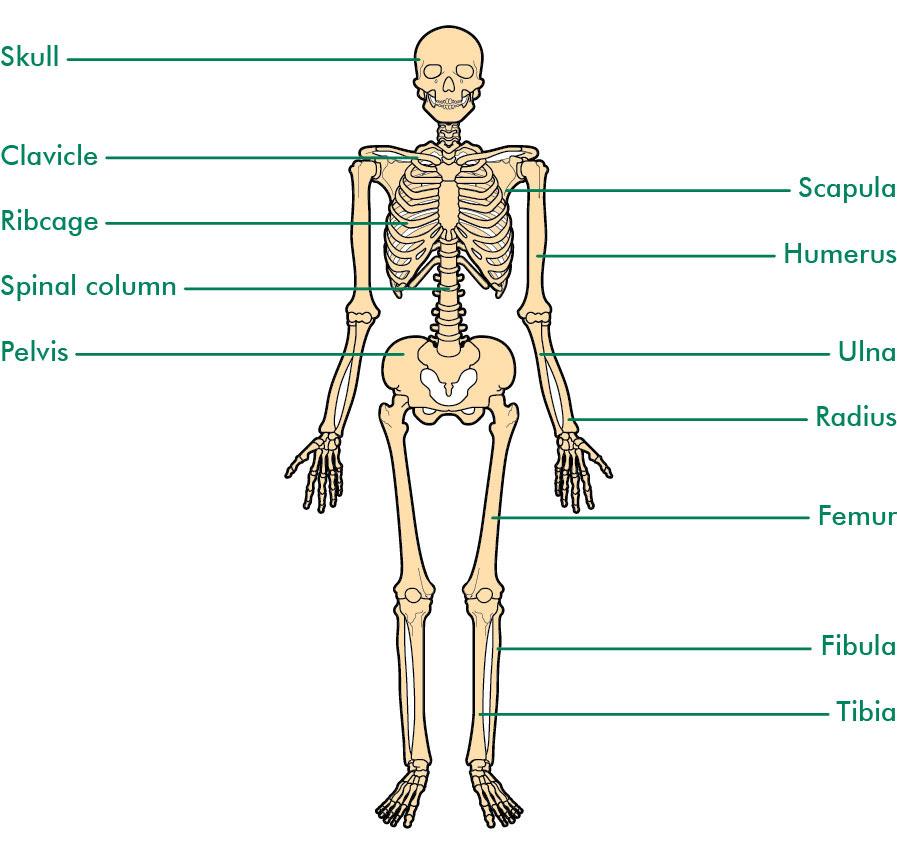 Skeleton labelled_tcm9 45589