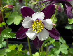 Columbine Flower Picture Gallery