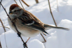 chipping sparrow 058