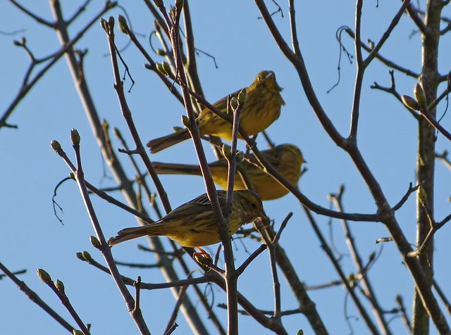 25814 - Yellowhammers, Craig Y Bedw