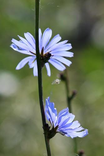 IMG_0222_Chicory