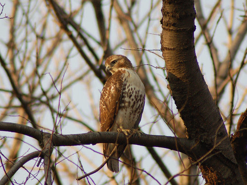 Juvenile Red-Tail on Central Park's Great Hill