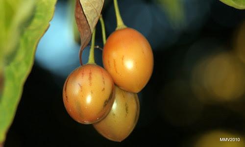 tomate de árbol