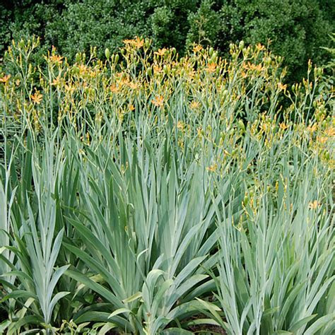 Blackberry Lily Seeds (Iris domestica)