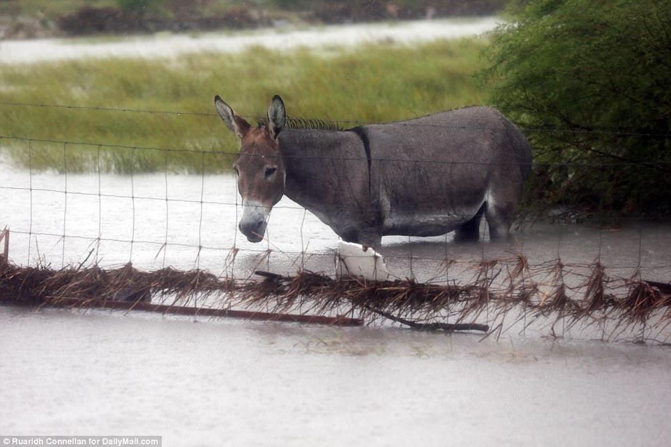 À Rockport, au Texas, cet âne a été repéré vomir le ventre dans les eaux profondes alors que la pluie continue de tomber sur la zone & nbsp;