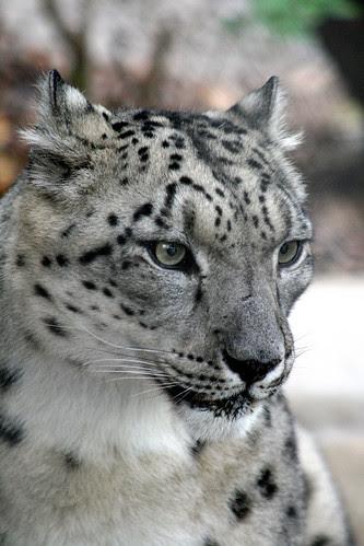 Snow Leopard edited