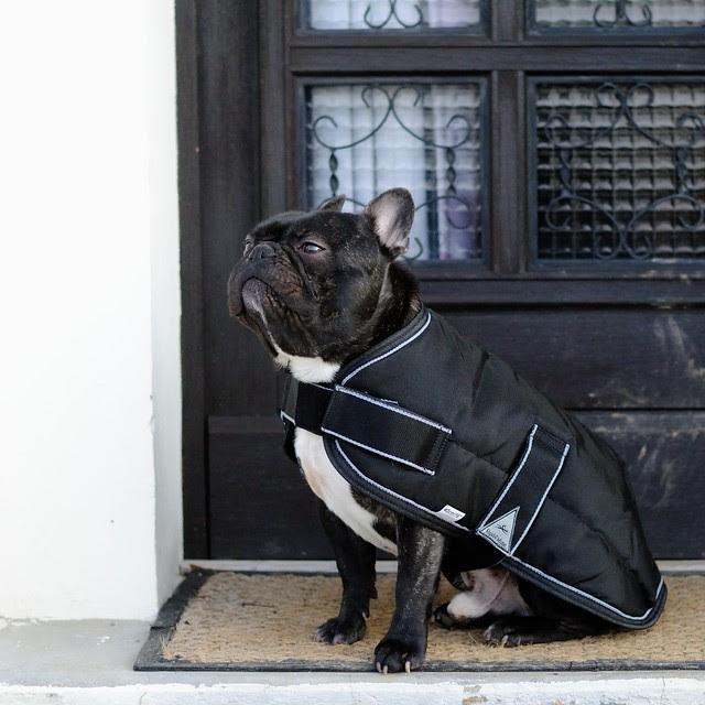 Griffin, bouledogue français, et son manteau Equi-Thème Colorado