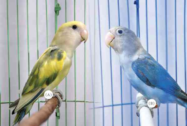 Download 85 Foto Gambar Burung Lovebird Lepas  Terbaru Gratis