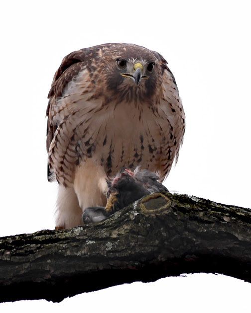 Ed Gaillard: recent &emdash; Red-Tailed Hawk eating a pigeon, Central Park