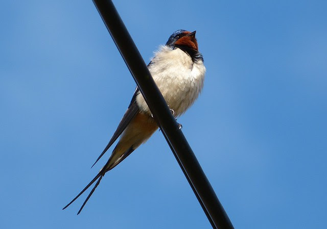 27012 - Swallow, Isle of Mull