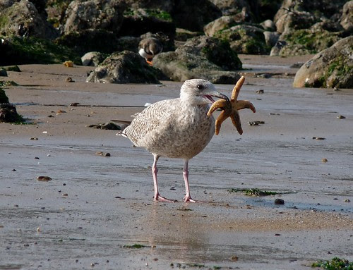 23521 - Herring Gull eating Starfish, Mumbles, Gower