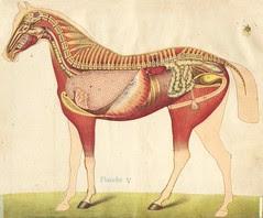 anato cheval 5