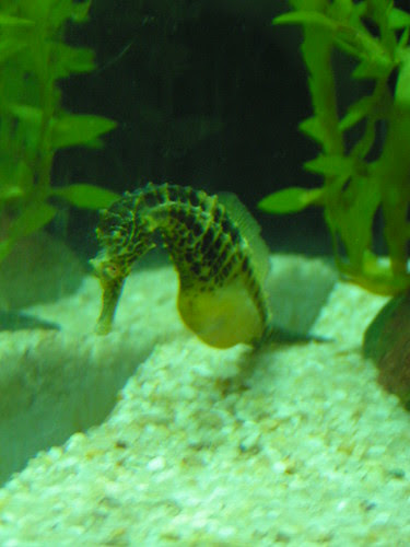 pregant male sea horse