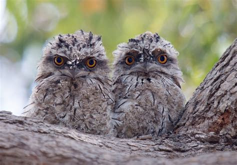 owlets   tree branch hd wallpaper background