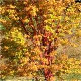 Acer palmatum Sangu Kaku