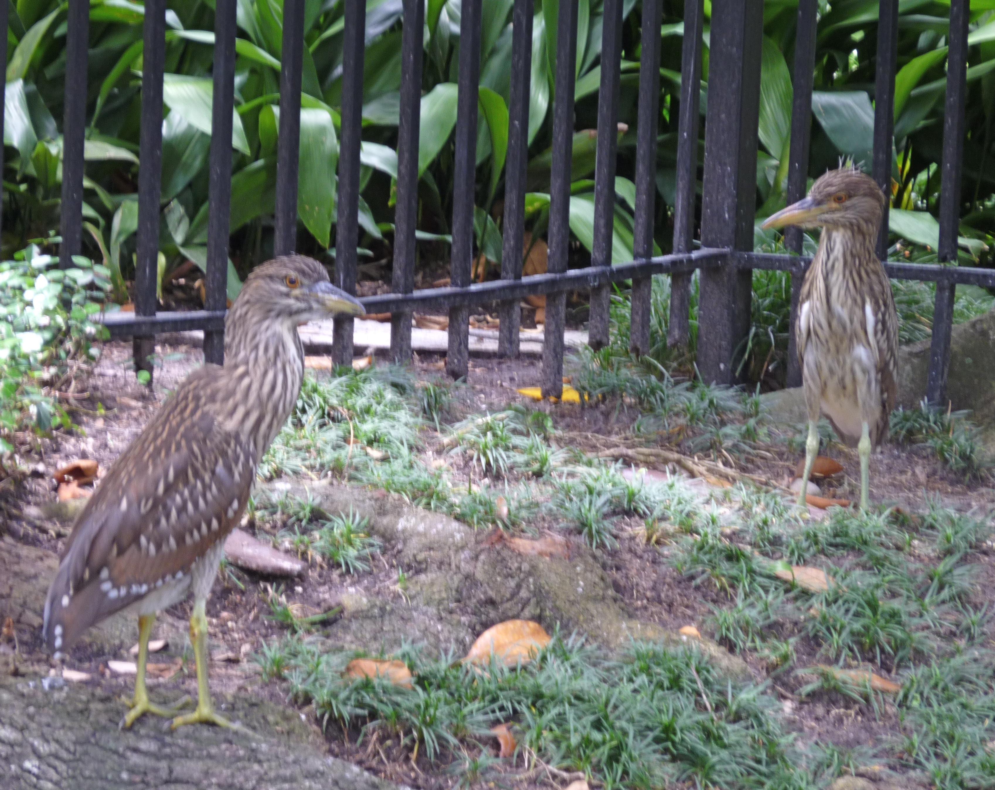Heron Babes