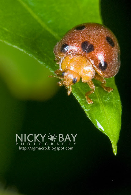 Ladybird (Coccinellidae) - DSC_7516