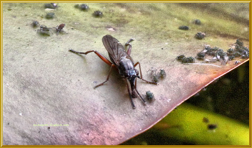 Unknown Fly 1