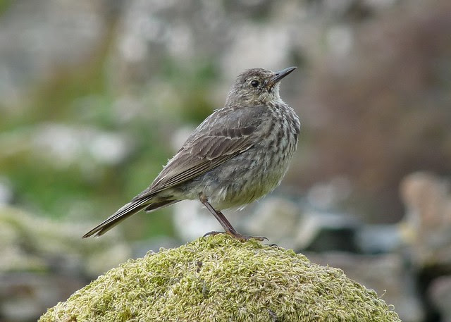 24555 Rock Pipit, Isle of Mull