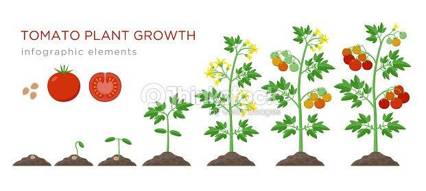 植物成長段階のインフォ グラフィック要素をトマトでフラットなデザイン