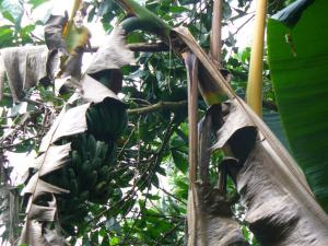 Pohon pisang terserang Penyakit Layu Pisang, betapa besar tandannya yang memberi harapan tapi ternyata buahnya berlendir.