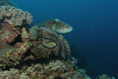Octopus color change 1