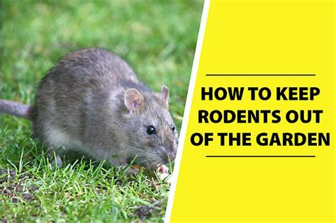 How Do I Get Rid Of Rats In My Yard   The Best Rat Of 2017