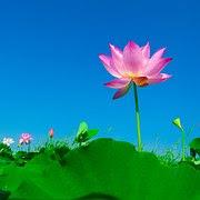 Lotus, Lotus Leaf, Flowering, Flower