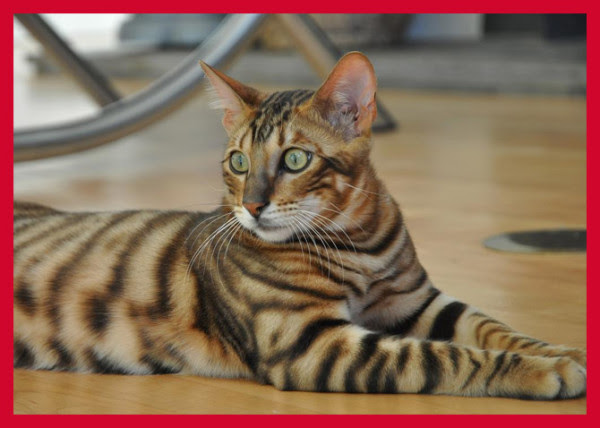 cutest cat breeds (11)