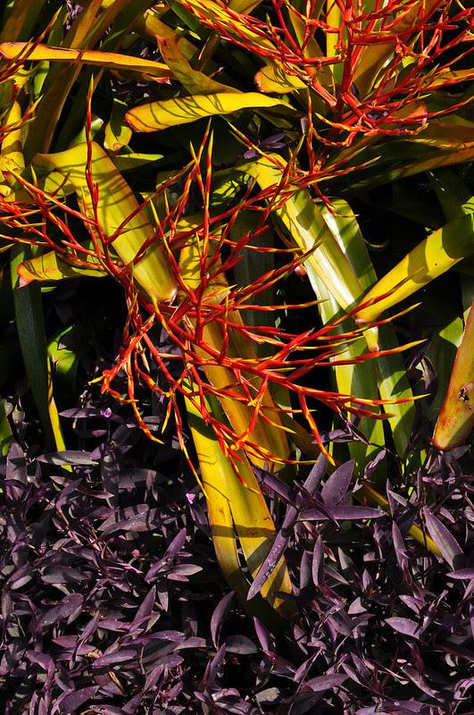 Bromeliad and Setcreasea