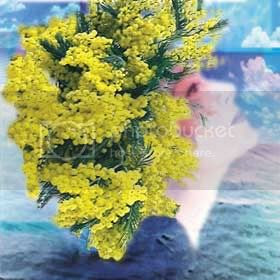 mimose Pictures, Images and Photos