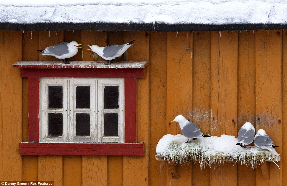 Kittiwakes in Norway chirp to one another as they perch on a  windowsill, while other members of the group rest up on a nearby wooden  ledge