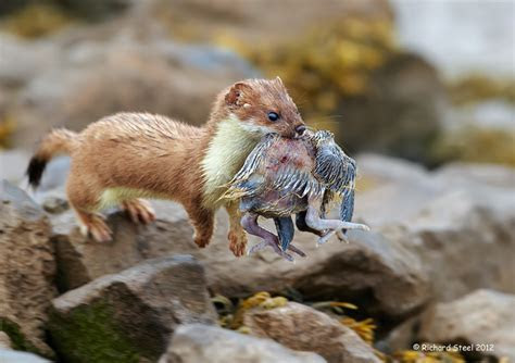 Image Gallery stoat eating