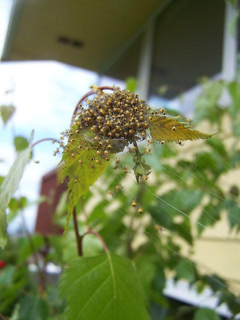 june 010 Bundle of baby spiders