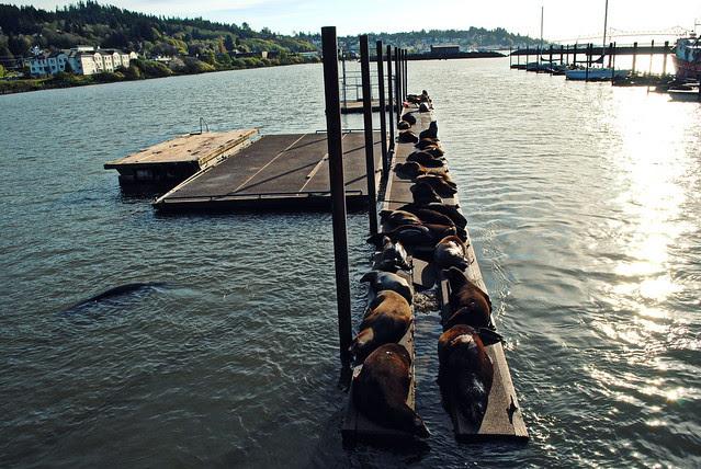 Sea Lions lounging on the docks - Astoria, Oregon