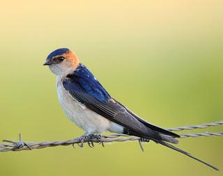 Andorinha Dáurica //Red Rumped Swallow