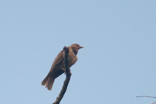 costa_rica_birds16
