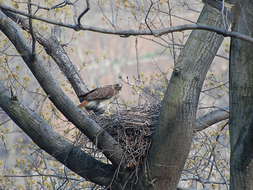 Highbridge Red-Tail Mama