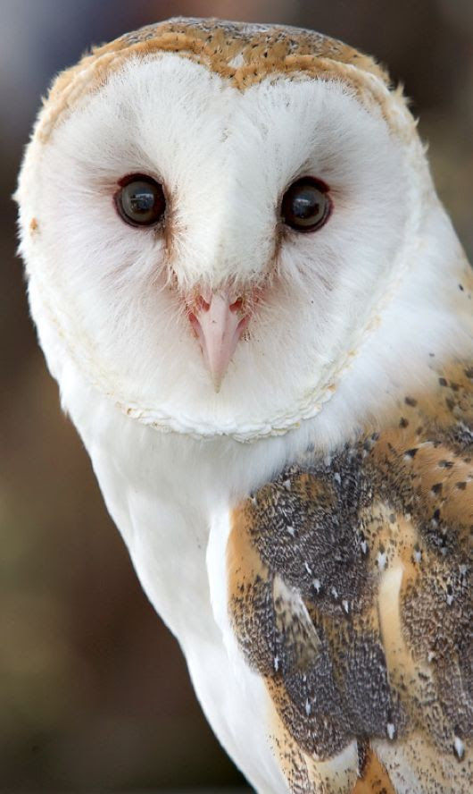 Beautiful barn owl • photo: Melanie on Caught in Time Photography