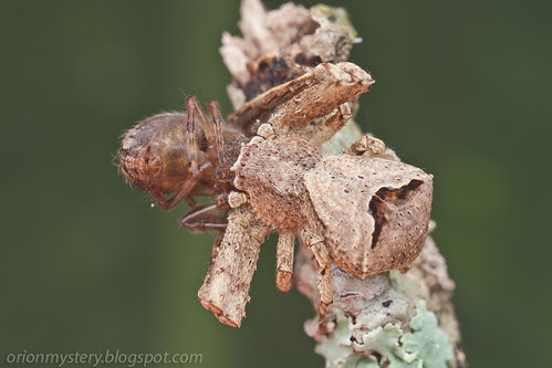 IMG_8827 copy crab spider with spider prey