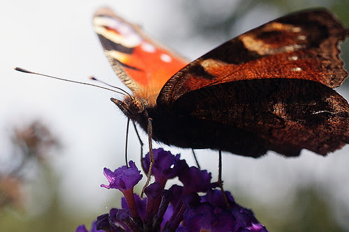 Butterfly on a flower close up by hegtor