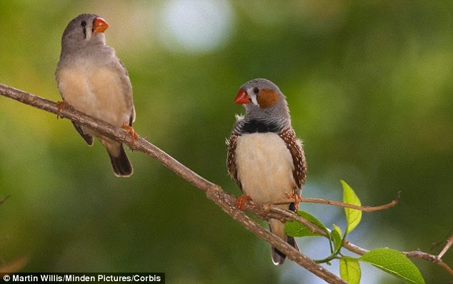 The Birdie Song, or anything by Wings: Scientists gave zebra finches (stock image) juice spiked with alcohol and analysed the effect on their songs, to find that they were slurred and quieter than usual