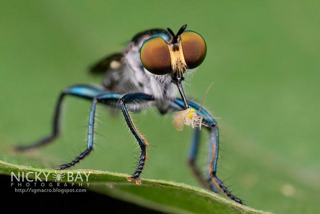 Robberfly (Asilidae) - DSC_5952