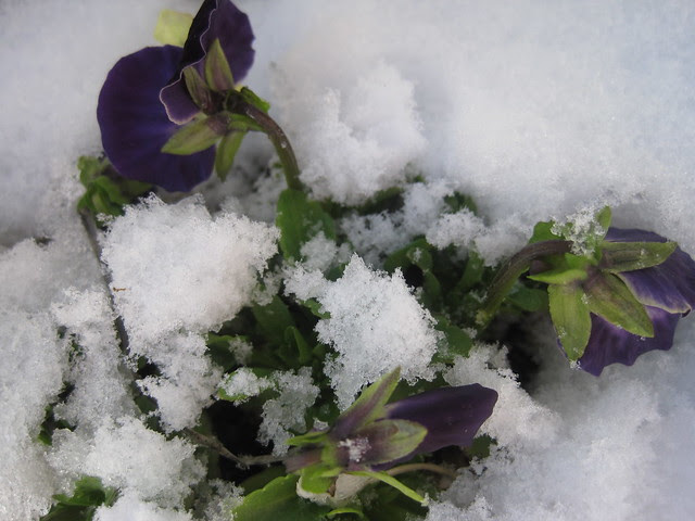 snow and pansies