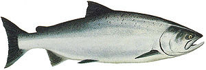 Drawing of Ocean Phase Chinook (king) salmon (...