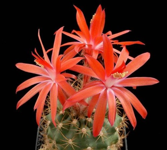 cactus-flowers- (21)
