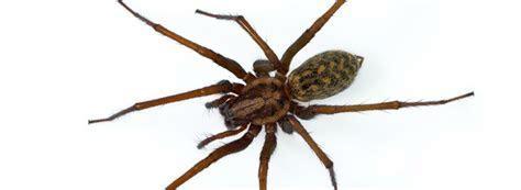 Hobo Spider   Rentokil Steritech