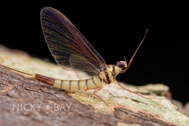 Mayfly (Ephemeroptera) - DSC_4981