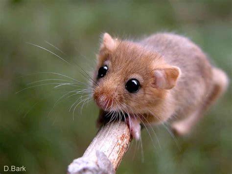Rastafari: Nagetiere / Rodents